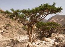 Frankincense-trees_NYRNatNews