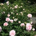 Pale 'ballet slipper' pink roses