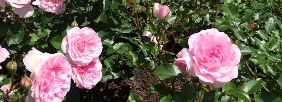 Bubble gum pink roses